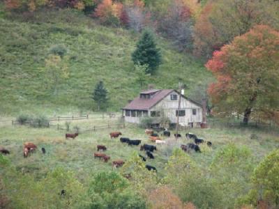 cowsmoving.jpg