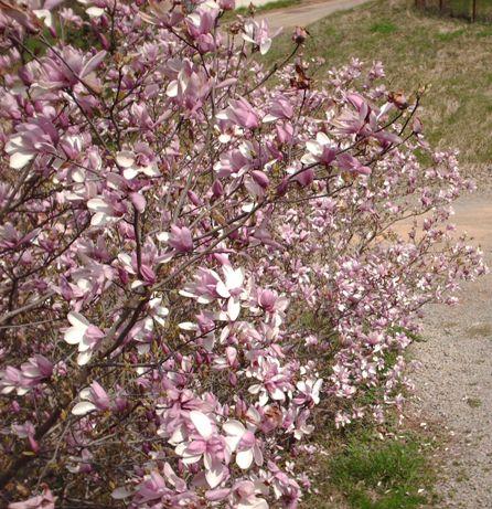 saucer-magnolia.jpg