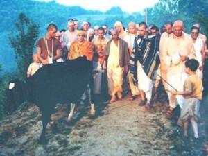 Srila Prabhupada meets his old friend Kaliya (the cow) on the path to the New Vrindaban farmhouse.