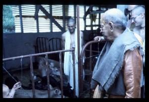 Srila Prabhupada visits the calves at the Bahulaban Barn, June 27th, 1976.