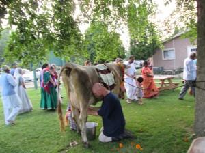 Ananda Vidya milks Surabhi Gomata, summer, 2013.