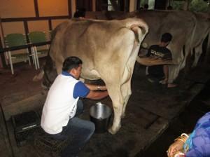 Guest milks Malati Gomata.