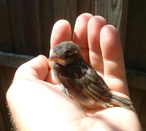 baby-house-sparrow