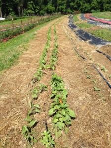 New Vrindaban Garden beans