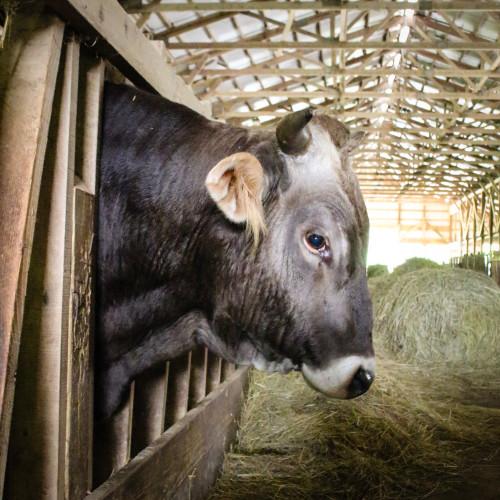 New Vrindaban Dharma, Bull Cow ECO-Vrindaban ISKCON