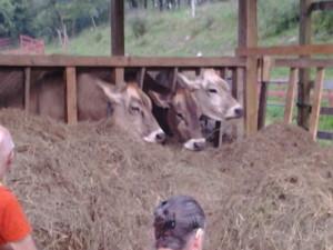 Krishna Janmastami Cows New Vrindaban 2014
