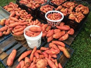 New Vrindaban Garden Sweet Potato garden self sufficiency 2012