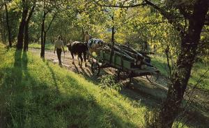 New Vrindaban Oxen 1975