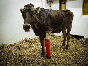 New Vrindaban Cow Protection Shankari in her leg caste