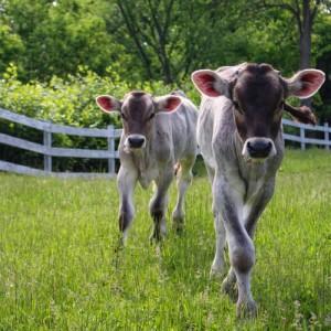 New Vrindaban Cow Protection Hari Chand Amani 2014