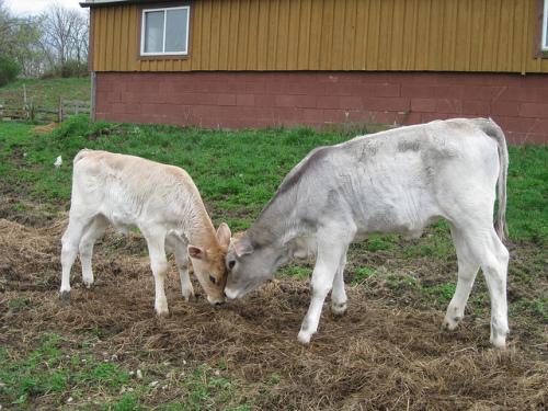 New Vrindaban Cow Protection Oxen ISKCON 2014