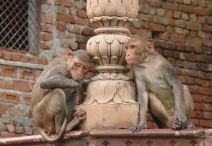 Fortunate Vrindavan Monkeys