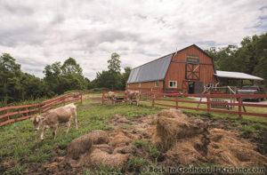 ISKCON New Vrindaban ECO-Vrindaban ECO-V cows