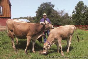 ISKCON New Vrindaban ECO-Vrindaban ECO-V Ranaka Cows