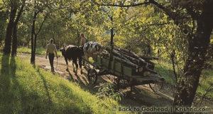 New Vrindaban ISKCON Oxen Cow Protection ECO-Vrindaban